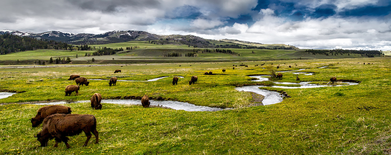 Bison Grazing along a stream